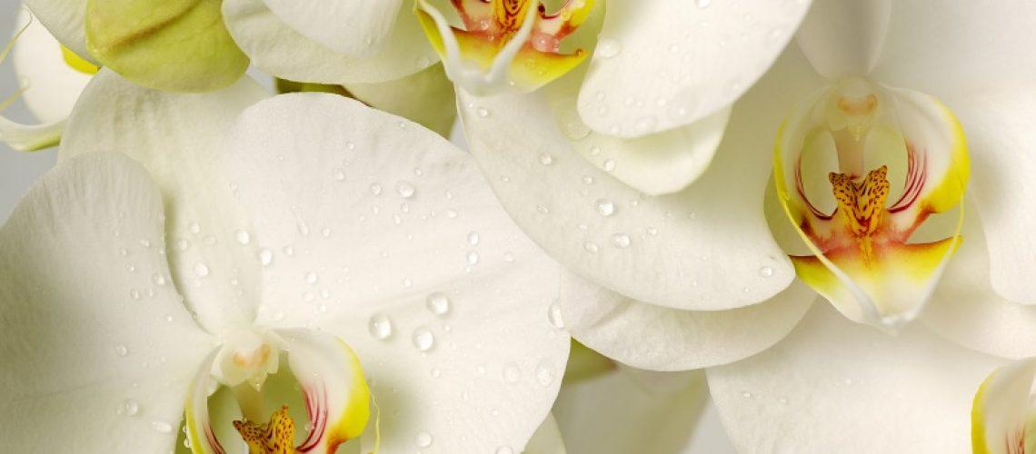 orquideas-loja-de-coroa-de-flores